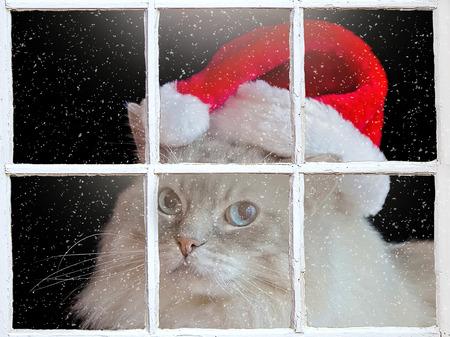 ragdoll: Ragdoll cat with Santa hat in winter window