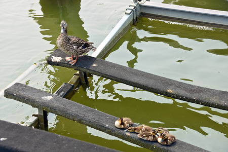 boat lift: mallard duck with duckling on boat lift Stock Photo