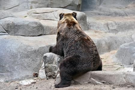 Oso pardo se sienta al revés en la roca Foto de archivo - 44662191