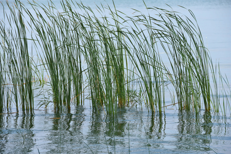 tall grass in flooded wetlands