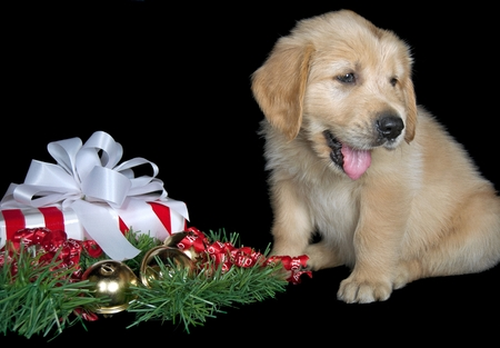 golden retriever puppy: Christmas gift with golden retriever puppy