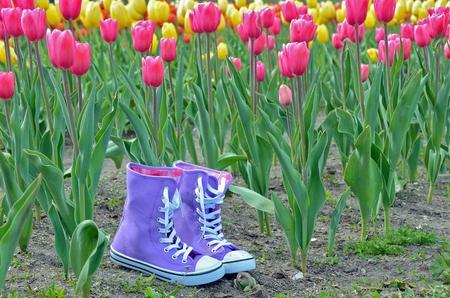 shoestring: purple sneakers in spring tulip garden