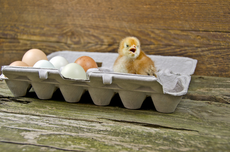egg carton: baby chick and fresh farm eggs in gray egg carton on rustic wood Stock Photo