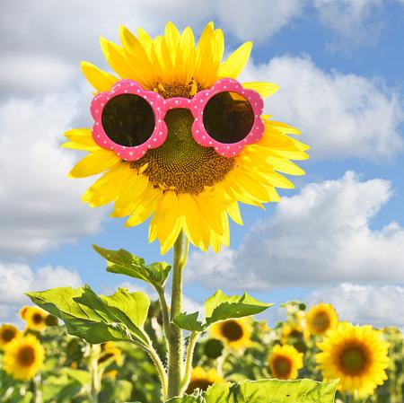 sunflowers: pink sunglasses on sunflower in field