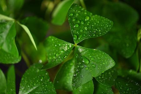 oxalis: Irish shamrock leaf with water droplets