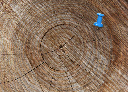 thumbtack: blue thumbtack in crosscut tree Stock Photo