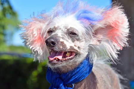 hairless: patriotic Chinese crested hairless dog with red and blue dyed fur for 4th of July holiday