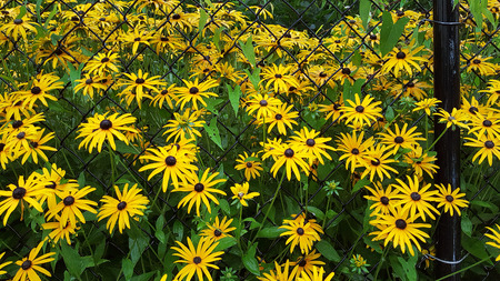 susan: black-eyed susan flowers with raindrops in fence