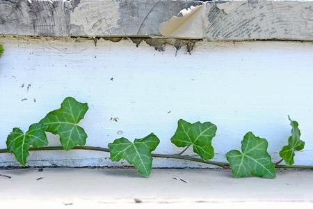 ivy vine: close up of ivy vine on weathered wooden step