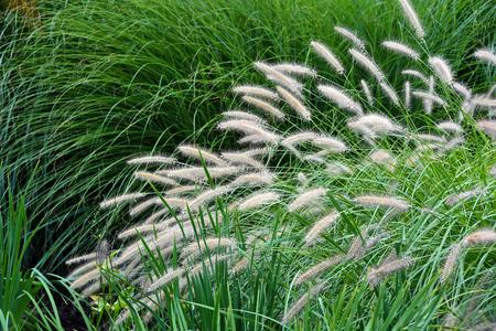variety of ornamental grass in landscaping Stok Fotoğraf