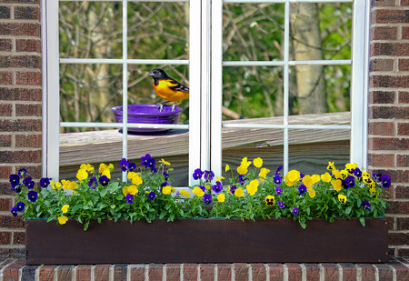 flower box: Baltimore oriole in window with pansy  flower box
