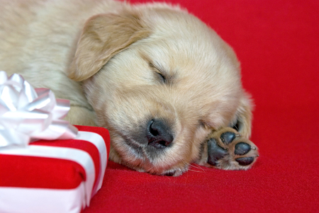 golden retriever puppy: golden retriever puppy sleeping by Christmas gift