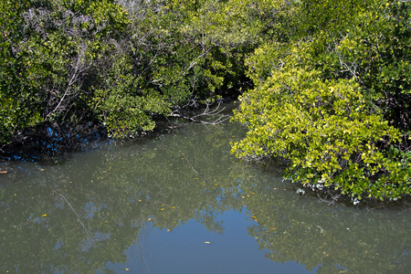Florida salt marsh with dense mangrove trees and still water