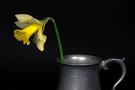 single yellow daffodil in vintage pewter pitcher on black Stock Photo