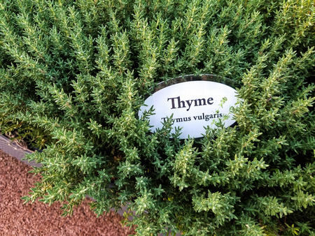 thyme herb plant in garden with sign