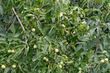almond crop on tree