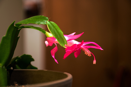 glowing pink floral Christmas cactus in flower pot