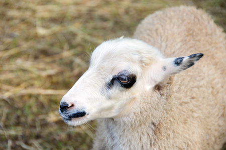 close up of a sheep in barn pen with straw background Stock Photo
