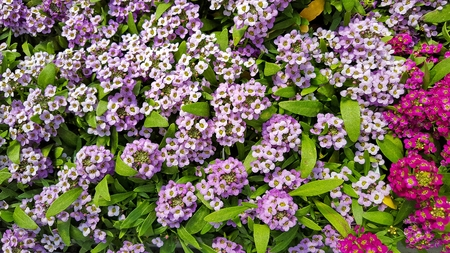 close up of pink and purple alyssum flowers in summer garden