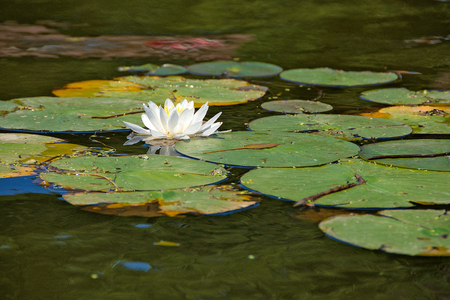 single white water lily floating in pond water with lily pads