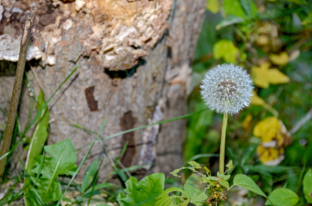 white fluffy dandelion in woodland by tree