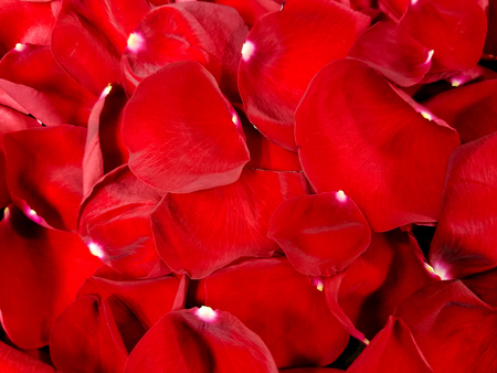 Close up of bright red rose petals