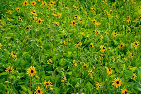 field of summer black eyed susan flowers Stock Photo
