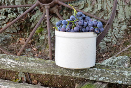 purple grapes in old stoneware pot on weathered wood with rusty wheel Stock Photo