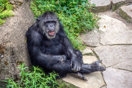 laughing chimpanzee with open mouth leaning on rock with plant vegetation
