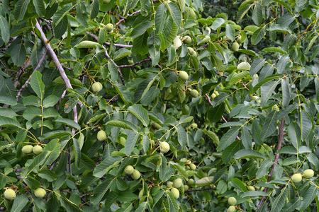 ripening green almonds on tree in Koblenz Germany