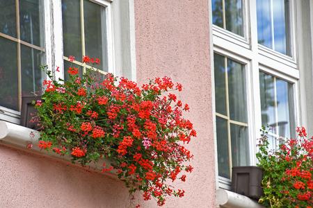 red ivy geranium in pink house window box