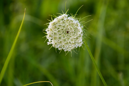 close up of Queen Annes Lace in summer field Stock Photo