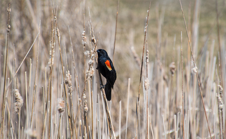 red winged blackbird perched on dried plant in marsh