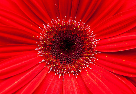 extreme close up of red gerbera daisy center