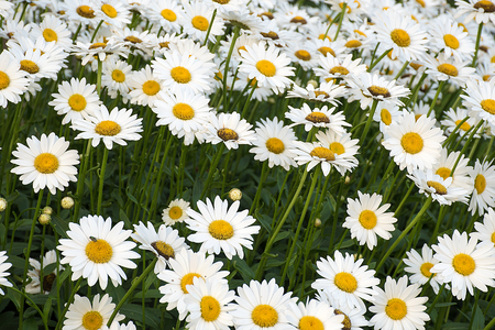white daisy flowers with fly in summer garden Stock Photo