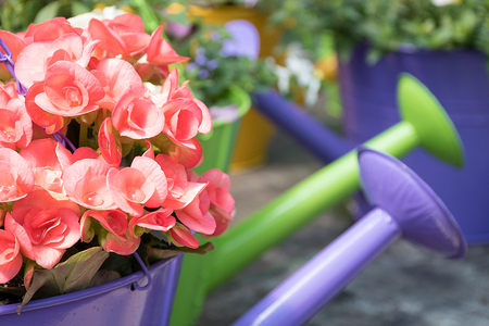 close up of pink begonia in purple watering can with water droplet in blossoms Stock Photo