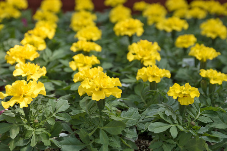 row of blossoming yellow marigold plants in greenhouse
