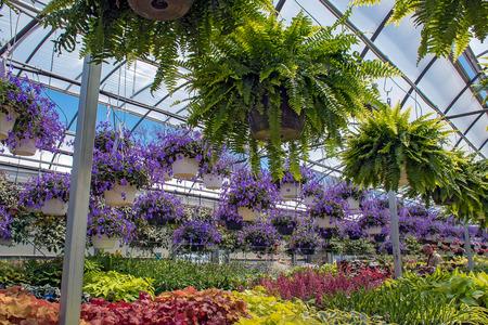 hanging Boston ferns and purple streptocarpella plants in greenhouse