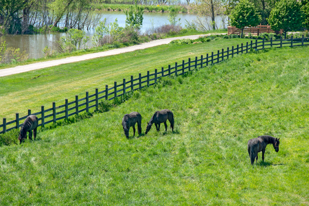 black Friesian horses grazing in green alfalfa pasture with fence and river