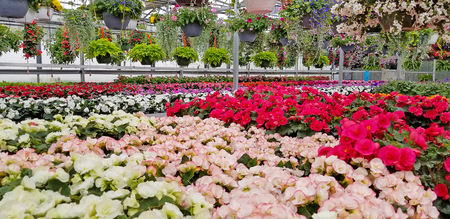variety of flowering begonia plants in greenhouse Stock Photo