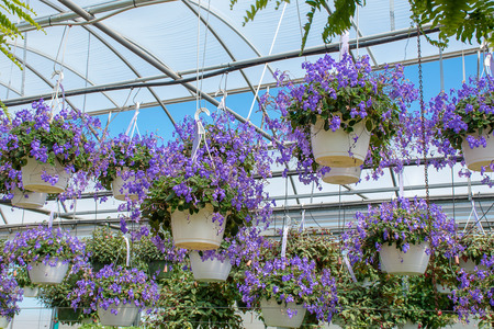 hanging purple streptocarpella plants inside glass greenhouse Stock Photo