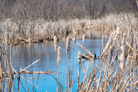 dry cattails with blue sky reflection in wetland