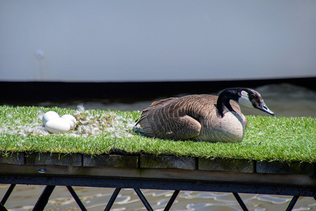 female goose with eggs in feathered nest on green artificial turf carpet on marina dock Stock Photo