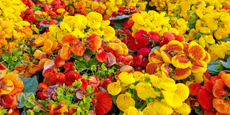 bright yellow and orange calceolaria flowering plants in garden