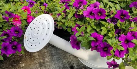purple petunias in white sprinkling can Stock Photo