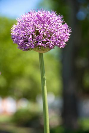 close up of single violet allium flower in summer garden Stock Photo