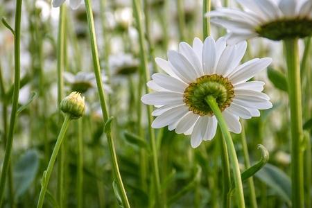 back view of white daisy in summer garden
