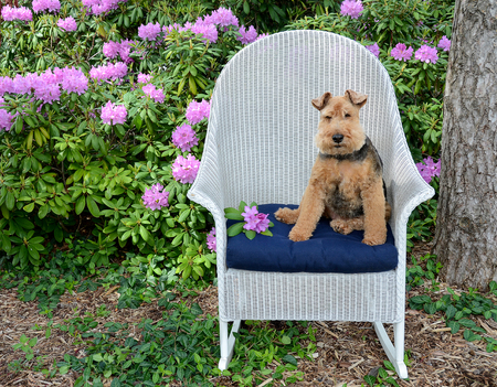 cute Welsh terrier sitting on blue cushion in white wicker chair in rhododendron garden