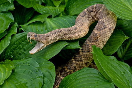 close up of rattlesnake in hosta plants with raindrops