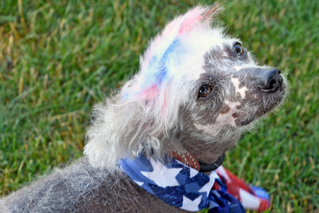 Chinese crested hairless dog with patriotic scarf and dyed fur on grass